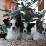 Papillion puppies